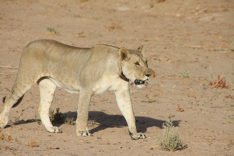Desert lion with GPS tracking collar
