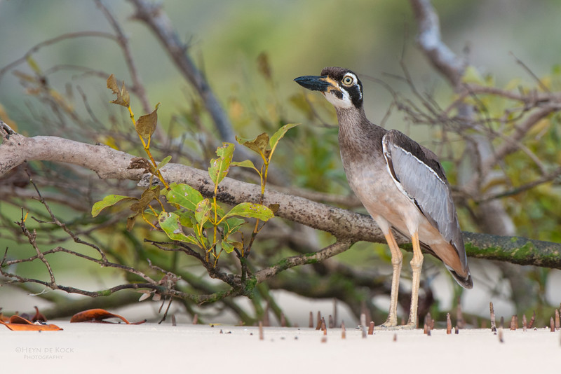 Beach Stone-curlew, Inskip Point, QLD, May 2011.jpg