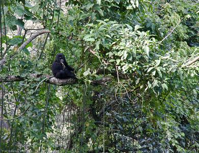 Bwindi - Bitukara Gorilla Trek 1
