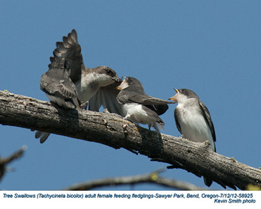 TreeSwallowsF&J58925.jpg