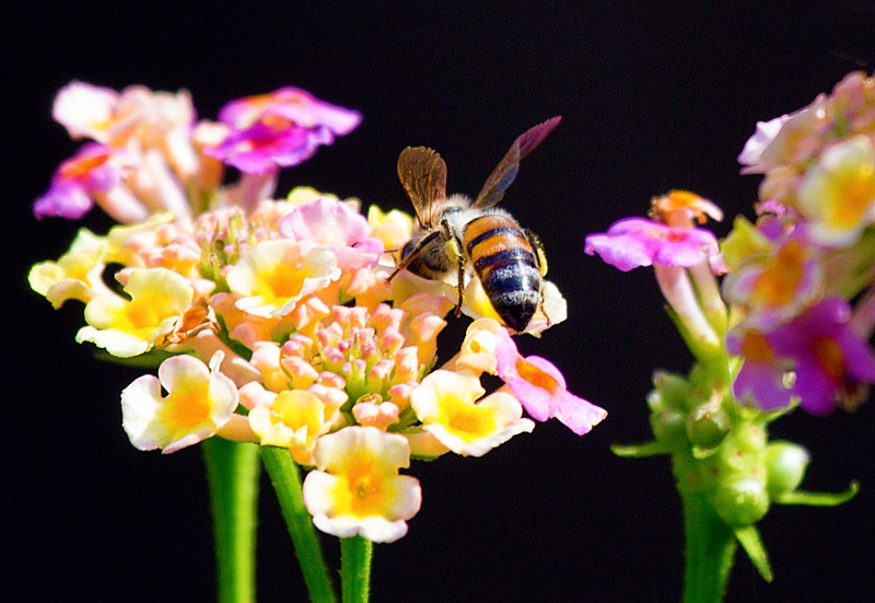 Another honey bee in the lantana