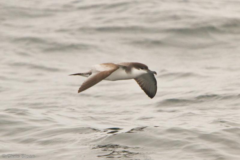 Buller's Shearwater at pelagic out of Bodega Bay, CA (10-15-2011) - 966.jpg