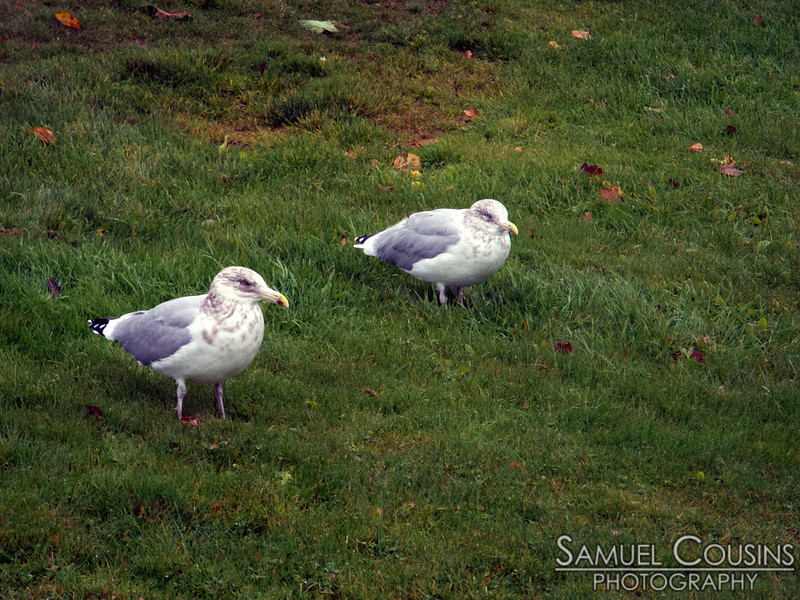 Some pretty pissed-off sea gulls hanging out during Hurricane Sandy.