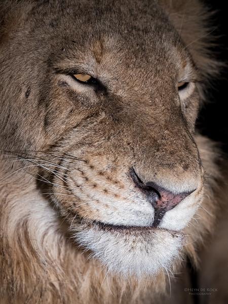 African Lion, Sabi Sands (EP), SA, Oct 2016-24.jpg