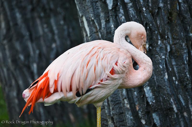 A Chilean Flamingo at the Calgary Zoo.