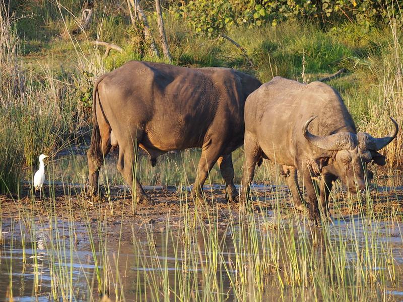 P5036135-buffalos.JPG
