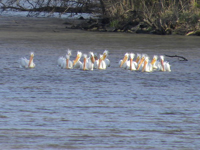 Favorite-Best Photos of American White Pelicans