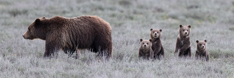 Grizzly 399 Cub Panorama