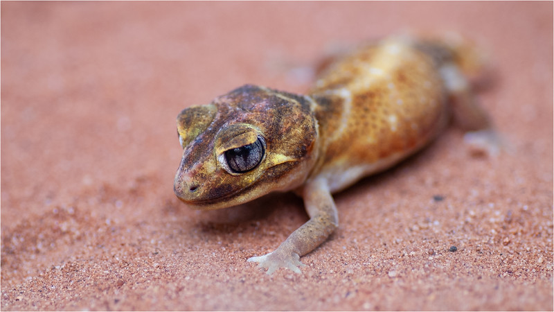 Smooth knob-tailed gecko