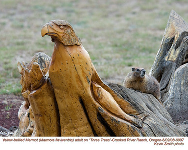 YellowBelliedMarmot0997.jpg