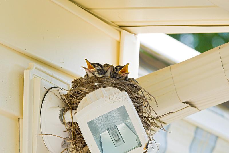 089 Spring 2007 Robin Nest.jpg