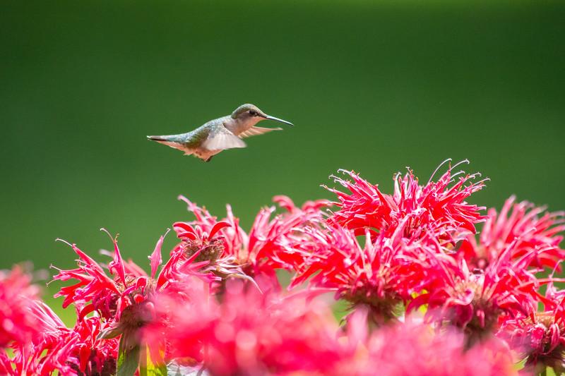 hummingbird  SET  july 2017 (1 of 3).jpg