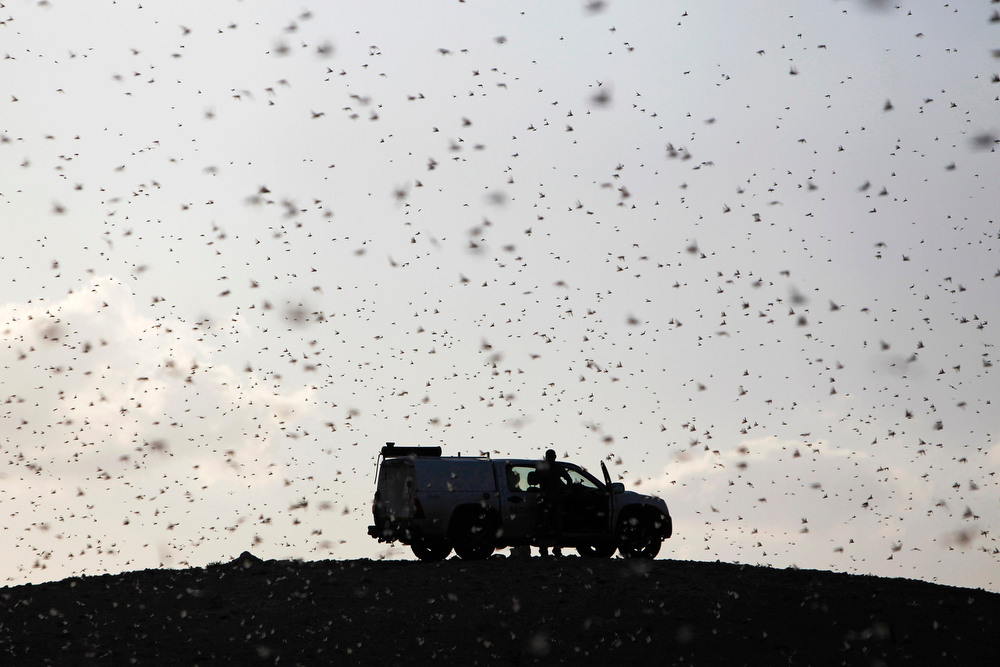 . Locusts fly near a car belonging to experts as they map the swarms of locusts near Kmehin in Israel\'s Negev desert March 5, 2013. The Israeli Ministry of Agriculture and Rural Development said on Tuesday that the location of the locusts which crossed into Israel from neighbouring Egypt had been mapped and and will be fumigated tomorrow. REUTERS/Amir Cohen