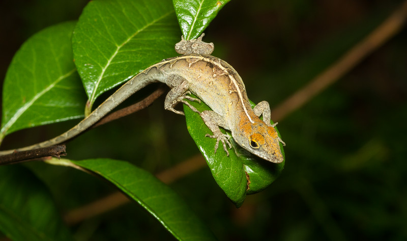 Cuban anole (female) from the Timucuan Preserve in Jacksonville, Florida. These lizards may be cute, but are unfortunately introduced from Cuba and the Bahamas and frequently out-compete native green anole populations.