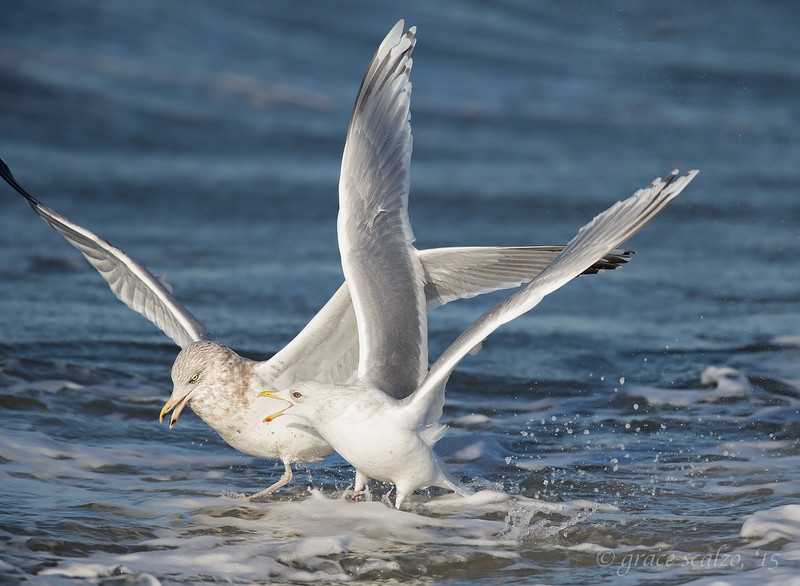 Herring and iceland Gulls_O8U6403.jpg