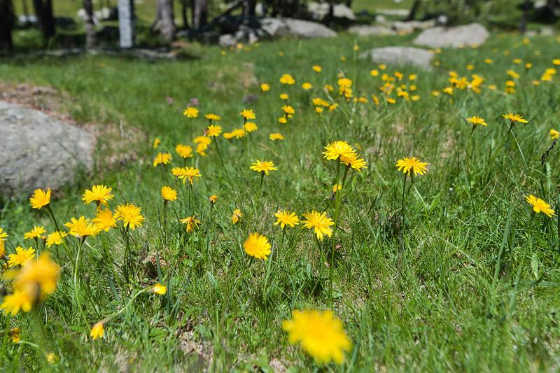 Beautiful flowers in the Pyrenees meadow of Cerdanya Region in Spain