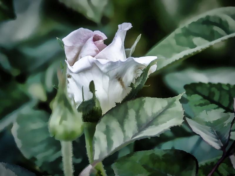 October 19 - Budding Rose.jpg