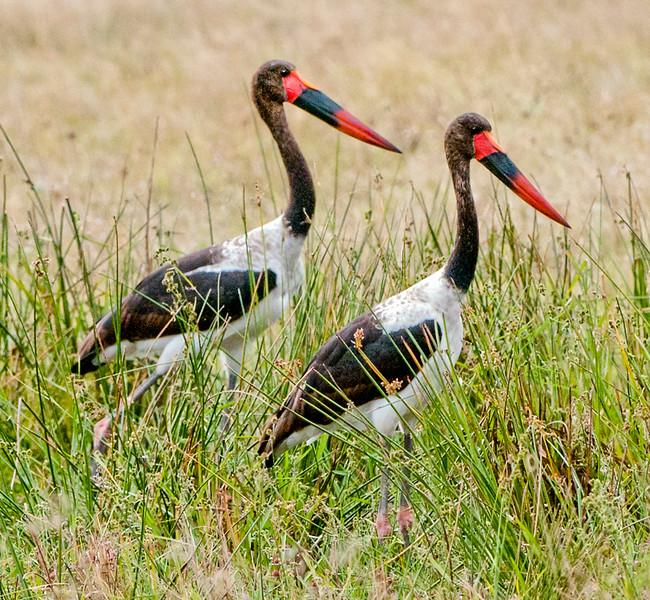 Birds_Storks_Saddlebill-2.jpg