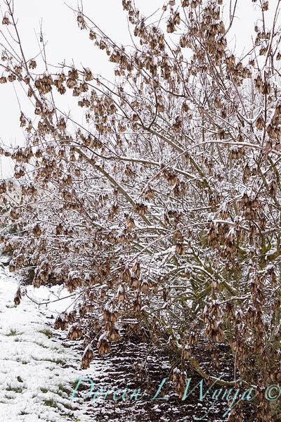 Acer ginnala 'Emerald Elf' in snow_4196.jpg