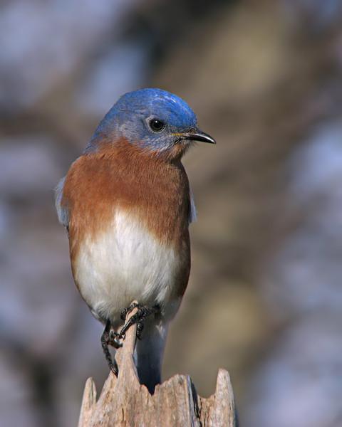 bluebird_0934.jpg