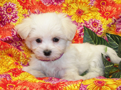 2006 MALTIPOO Puppies Sold Photo and Video Galleries PRT 1