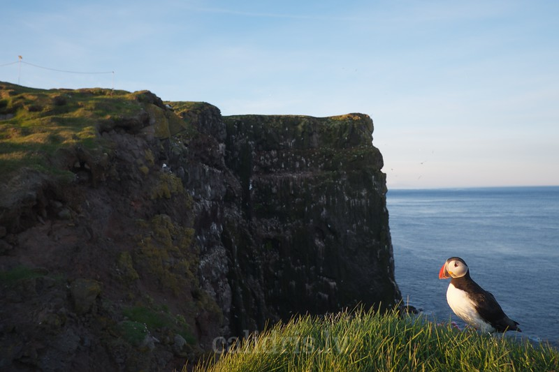 A puffin on the edge of the cliff, Látrabjarg, Westfjords