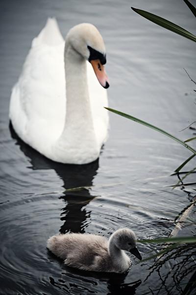 Swans_Of_Castletown049.jpg