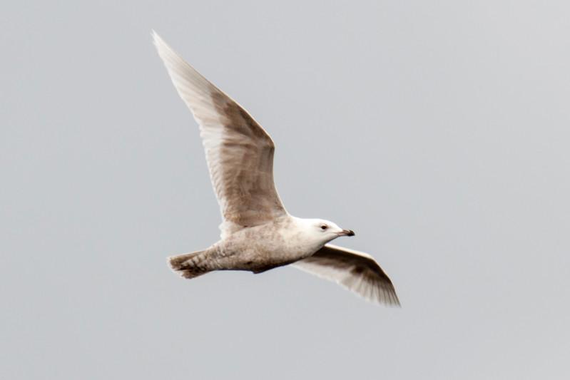 Glaucous Gull - juvenile -Vik, Iceland