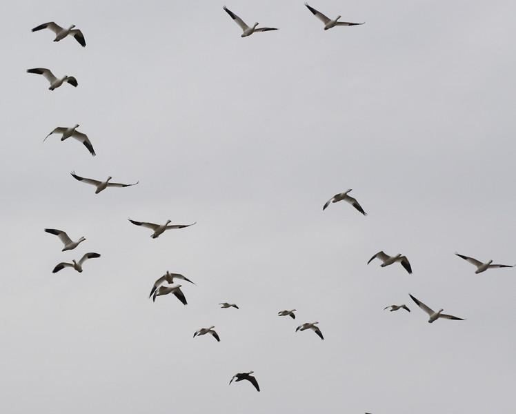 Snow Geese 13 03_13_19.JPG