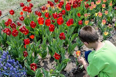 Albany's Tulip Fest
