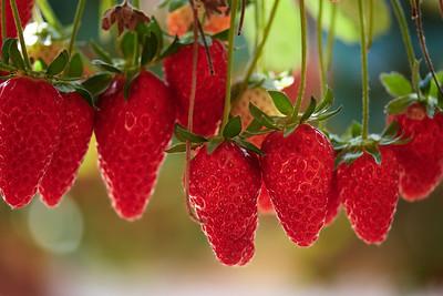 Strawberries and Cacti in Eshkol Region