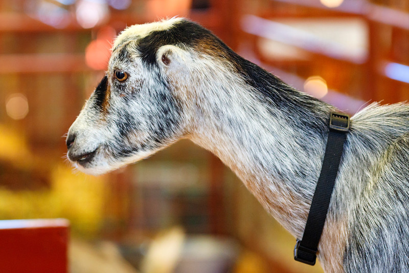 Melancholy Goat