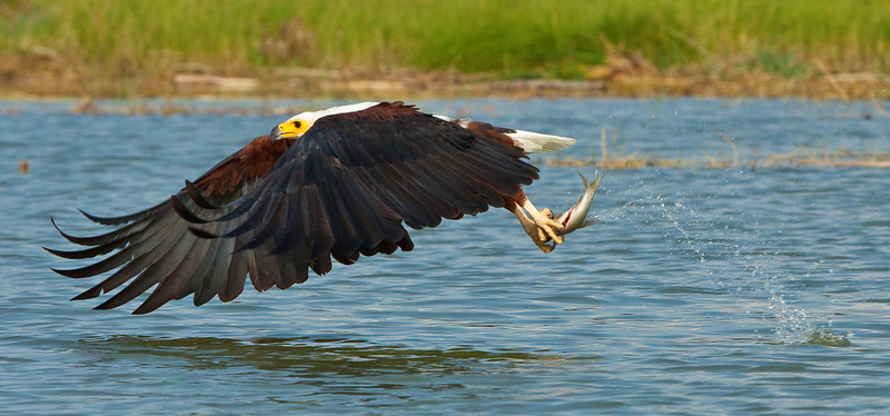 African Fish Eagle; September 1, 2012; Lake Baringo, Kenya