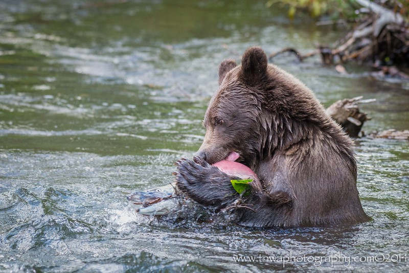 A Brown Bear & Its Salmon