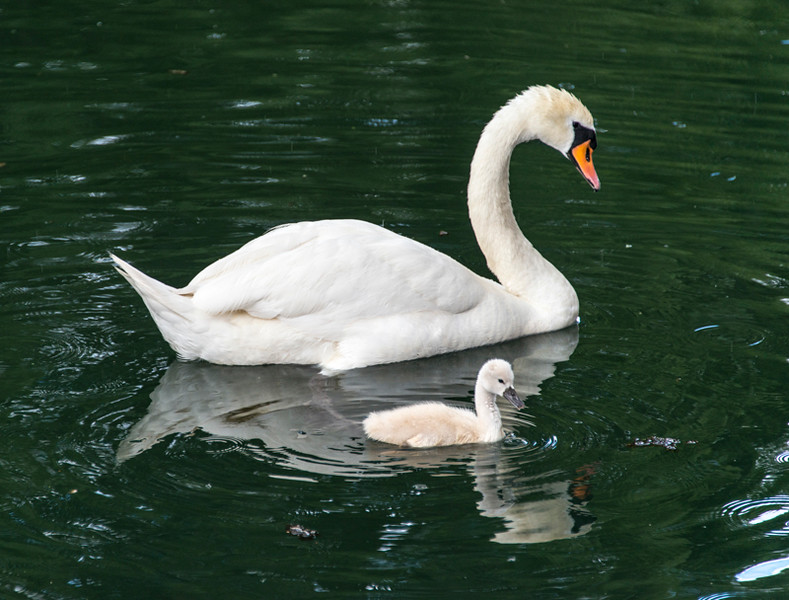 Swans04.jpg