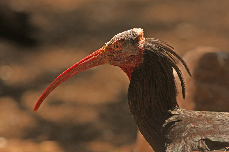 Northern bald Ibis, Safari West