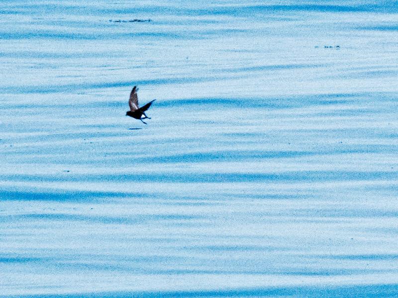a706 906 20150725_88 3 crp 1st of 2 Wilson's Storm-Petrels Atlantic from Bar Harbor 0706 1109.jpg