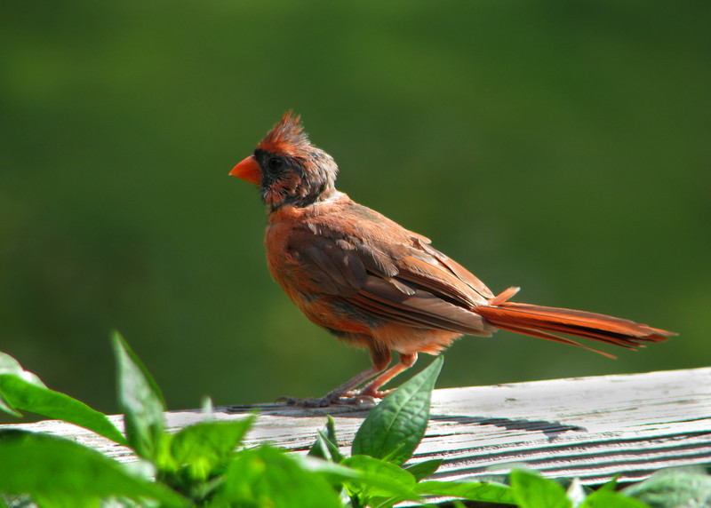 cardinal_0560.jpg