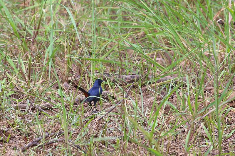 Indian robin (Copsychus fulicatus)