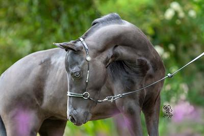Minstrels Miniature Horses