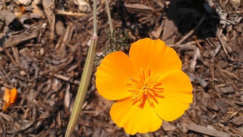 California Poppy(ECU)