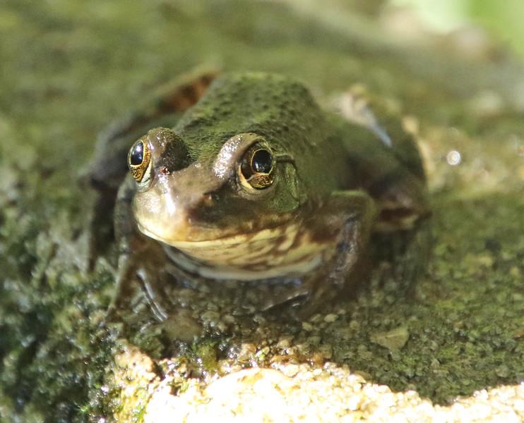 Frog 005