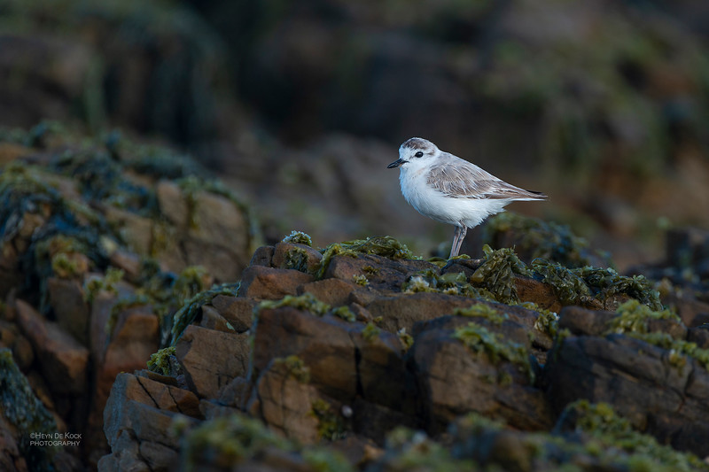 White-fronted Plover, Table Mountain NP, WC, SA, Jan 2014-1.jpg