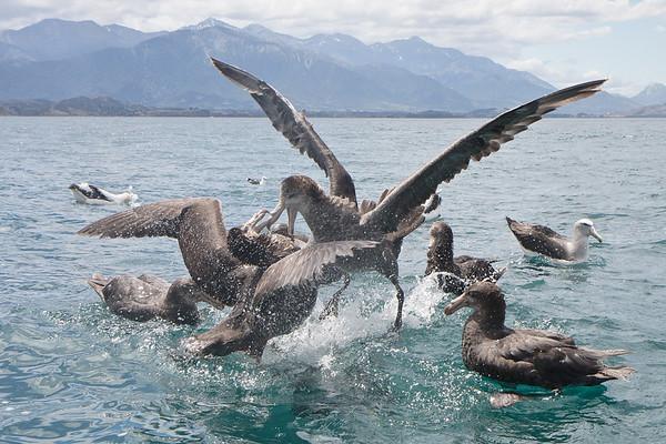 2010 December 27 Kaikoura Pelagic (NZ)