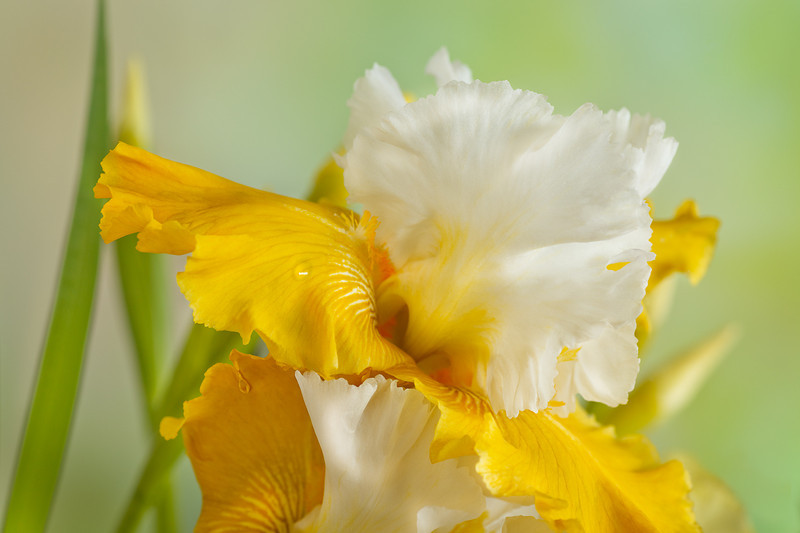 Iris, Yellow Sunrise 4.jpg