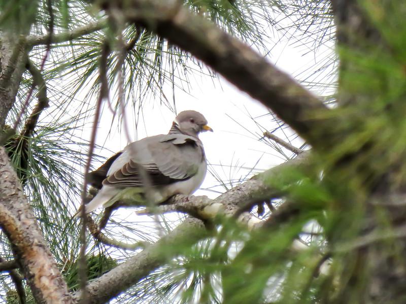 IMG_8491  3crp Band-tailed Pigeon Deer Trap Mesa.jpg