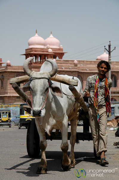 Ox Cart in Bikaner - India