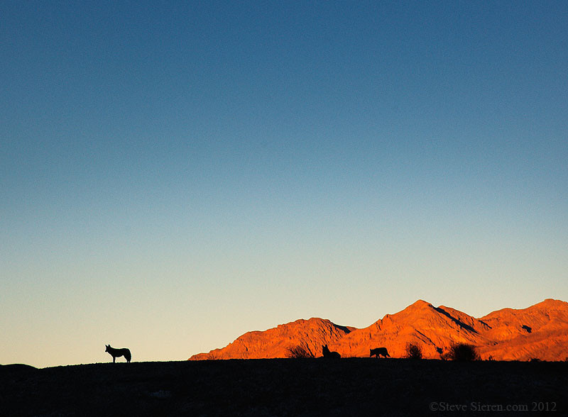 Coyote silhouettes on a ridge in a remote part of Death Valley