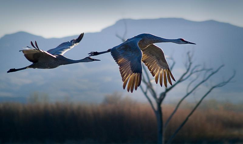 'Sandhill Cranes in Flight' - Bosque del Apache National Wildlife Refuge, New Mexico, USA