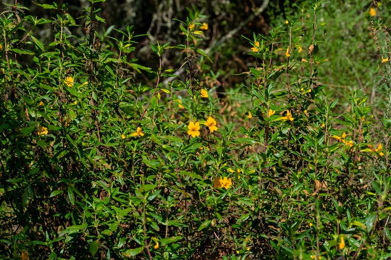 Sticky Monkey Flower bush - Los Altos, CA, USA